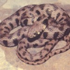 Cyprus has failed to protect grass snake